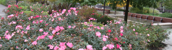 Roses bloom in the botanical park