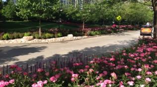 Roses in LSE Park
