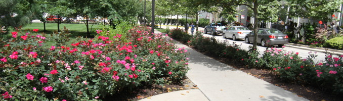 Path of roses across from the Lancaster
